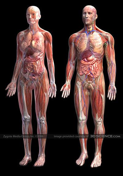 400px-human-anatomy-zygote